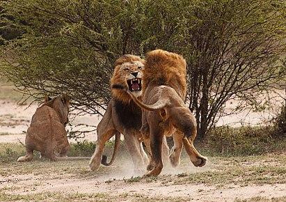Lucha entre leones