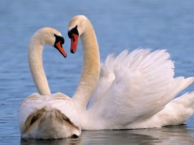 pareja de cisnes el lago de los cisnes