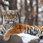Tigre de Siberia