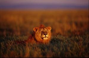 La vida en el paraiso salvaje leon serengueti