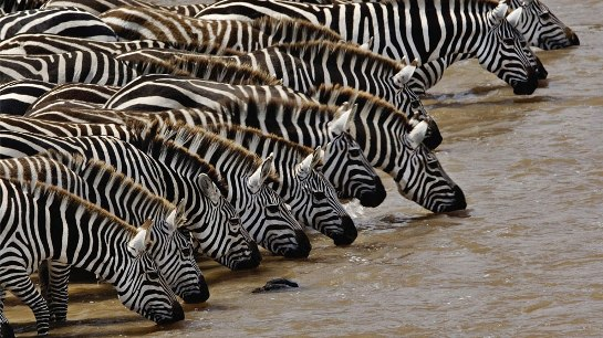 animales salvajes cebras