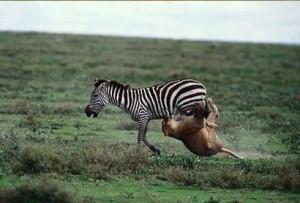 cebra vs leon zebra vs lion