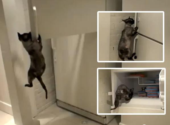 Un gato abre el congelador para conseguir comida