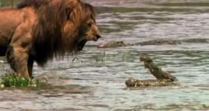 leon vs cocodrilo