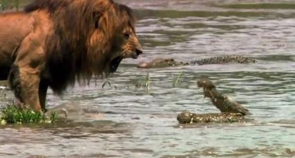 León enfrentando Cocodrilos