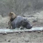 Hipopótamo muerde mortalmente a una leona