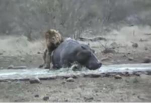 leon vs hipopotamo