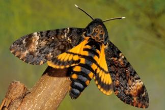 mariposa atropos esfinge muerte