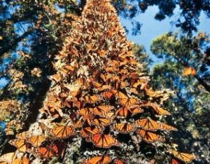 mariposa monarca migracion arbol