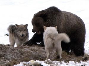 oso grizzlies lobos