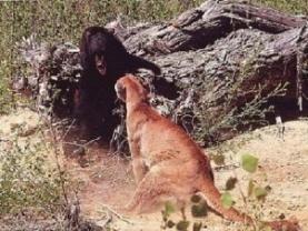 Puma defiende a sus cachorros de un Oso