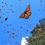 El Vuelo de las mariposas Monarcas 3D