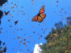 vuelo mariposa monarca