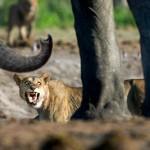 Elefante frente a león