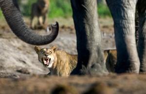 elefante vs leon