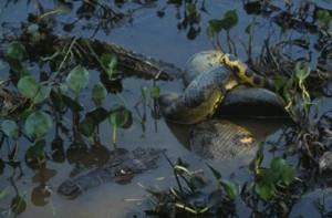 anaconda caiman