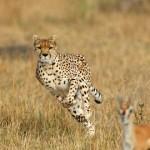 Guepardos cazando