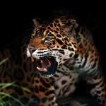 Jaguar cazando en el Amazonas