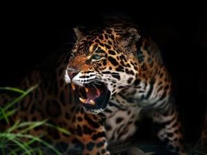 jaguar cazando