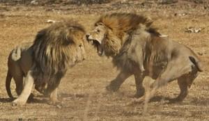 leones en pelea