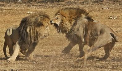 Video de una pelea de leones