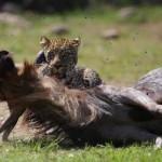Leopardo cazando dos Ñus seguidos