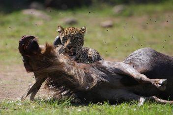 leopardo cazando un ñu