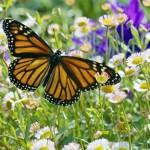 El libro rojo, Especies amenazadas – Mariposa monarca