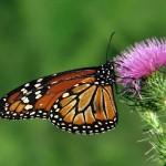 Ciclo de vida de la mariposa reina