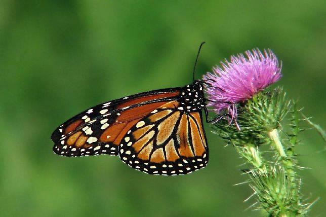 mariposa reina