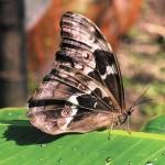 Mariposas de Los Yungas, Bolivia