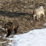 Joven oso grizzly peleando con lobos
