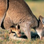 Parto del canguro