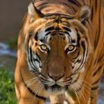 Tigres cazando. Lección para los cachorros
