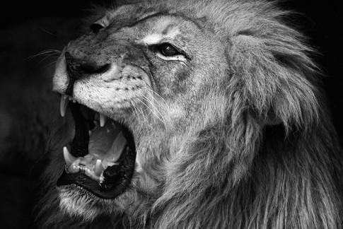 Video leones