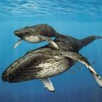 El Mundo Submarino De Jacques Cousteau – Ballenas