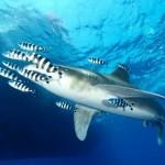 El Mundo Submarino De Jacques Cousteau – Tiburones