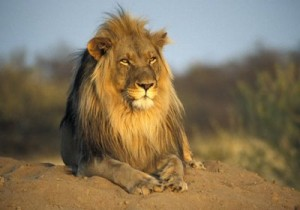 documental leones en el desierto