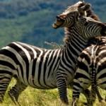 Naturaleza cruel: una cría de cebra ante la muerte de su madre