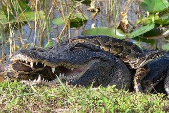 Pelea pitón vs cocodrilo