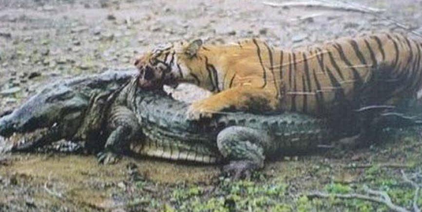 Tigre cazando un cocodrilo