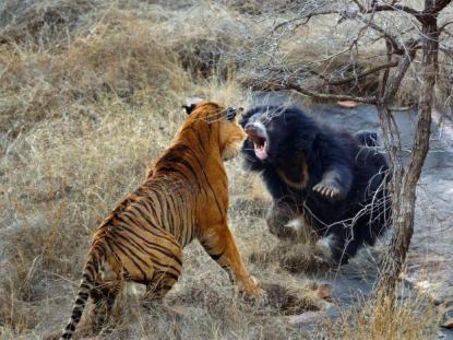 Dos tigres atacan a un oso