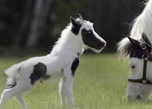 Einstein, el caballo más pequeño del mundo