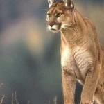 Puma cazando un ciervo