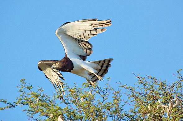 Águila cazando una serpiente venenosa marina