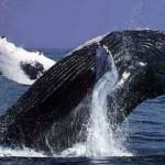 Viajes Asombrosos – Ballenas grises