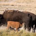 Oso cazando Bisontes