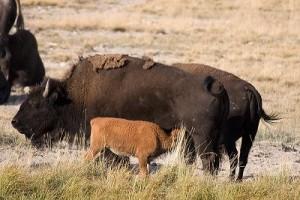 bisontes cria