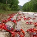 Viajes asombrosos – Cangrejos rojos