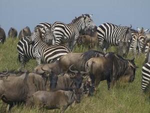 cebras y ñus migracion